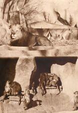 Lion & Monkeys Zoological Park Paris old Photo 1957