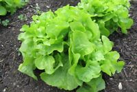 Oakleaf Lettuce Seeds, Green, NON-GMO, Heirloom, Variety Sizes, FREE SHIPPING