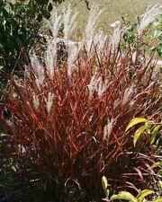 Ornamental Grass Seeds - FLAME GRASS - Miscanthus 'Purpurascens' - 20 Seeds
