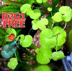 Betta wort centella asiatica 3-5 Live Fish Tank Plants Aquarium Plant B2G1FREE ✅