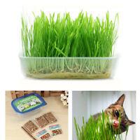 Green Digestive Crystal Catnip Grass Healthy Treat Cat Plant Double Catnip Seeds