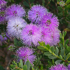Melaleuca nesophila Little Nessie Honey Myrtle native plant in 50mm pot