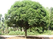 20 seeds Camphor Tree seed Cinnamomum camphora Tropical Seeds Rare Seed
