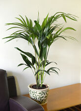 Indoor Plant-House or Office Plant-Howea Forsteriana Kentia Palm Approx75cm tall