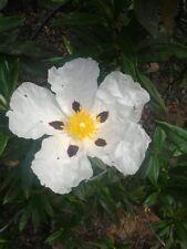 Sharon Rose (Cistus Ladanifer) - [Biblische Pflanze] - 2000 Bio / Bio Samen