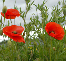 Wildflower Seeds - Common Poppy - 30000 Seeds 3g