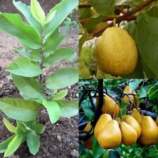 10Pcs Rare Seeds Florida Tropical White/Yellow Pear Guava Fruit Tree Plant Hot