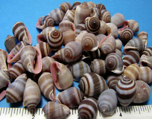 """STRIPED SNAIL SHELLS 1/4 CUP (50+)1/2""""-3/4"""" crafts,vase fillers, beach decor"""