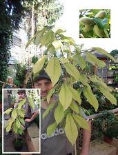 Pawpaw - 2 Pflanzen winterharte Indianerbanane für den Garten / Leckeres Obst *