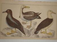 C1850 Goldsmith Cuvier Estampado Albatross Comunes & Tiznado