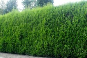 10X LARGE 2FT GREEN LEYLANDII TREES - EVERGREEN HEDGING PLANTS - 2/3L POTTED