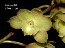Mormodia Lime Tiger Am/Aos X Catasetum Spitzii Solid Gold Fcc/Aos