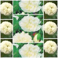 "Poppy Double Cream 100 flower seeds unusal Papaver paeoniflorum ""Peony Poppy"""