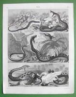 AMPHIBIA Snakes  Viper Dog Boa Rattlesbake Scink - SUPERB Antique Print