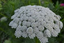 Ammi Green Mist False Queen Anne's Lace Bishop's Weed Premium 100- Seed Packet