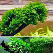 500PCS Pearl Moss Seeds Ornamental Plants Water Grass Live Aquarium Plants BE