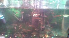Red tiger endlers 3 male's   plus 3 baby pink Ramshorn snails