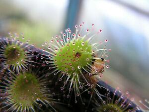 Round leaved sundew Drosera rotundifolia 20 fresh seeds hardy carnivorous plant