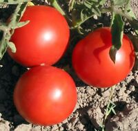 30 OREGON SPRING TOMATO SEEDS HEIRLOOM 2019 (non-gmo heirloom seed)