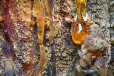 Turpentine-resin of Siberian Cedar(Pinus Sibirica)Oleoresin Pure & Natural 100%