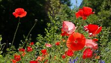 Poppy for Veterans 2000 Seeds   Red Remembrance