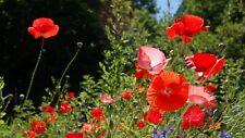 Poppy for Veterans 300 Brilliant Red Remembrance