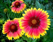 Gaillardia aristata x 50 seeds. Drought tolerant Flower. Gift in store
