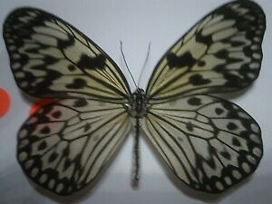 Real Butterfly/Insect/Moth Non Set B7217 Large Pieridae Idea leuconoe obscura