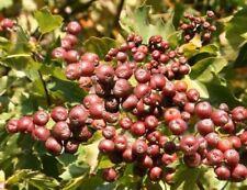 Obstbaum für Garten: Elsbeere * Baum des Jahres 2011 * Samen / Sorbus torminalis