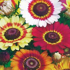 Crisantemo-Arco Iris - 500 semillas