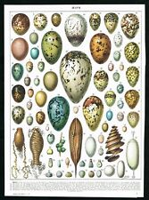 1928 Eggs, Birds, Fishes, Insects, Butterflies, Antique Print - Larousse