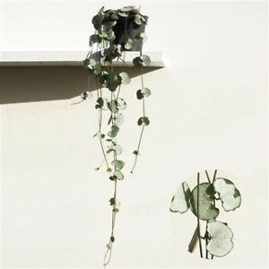 Ceropegia woodii Silver Glory - Leuchterblume - Grünpflanze - Zimmerpflanze