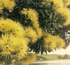 Metrosideros excelsa Yellow - 100 seeds - Yellow Pohutukawa - from New Zealand
