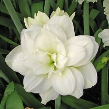 Amaryllis Double White 'Marquis' 26/28cm bulb Christmas flowering Ship Oct. 2017