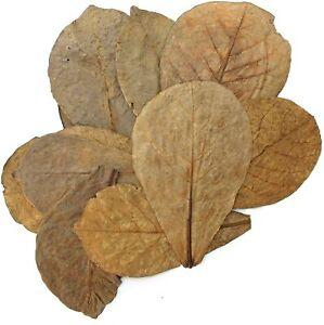 Tantora Premium Grade Catappa Indian Almond Leaves Size Xl 18-30cm