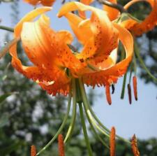 Lilium henryi Henrys Lily 10 seeds
