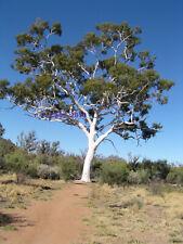 Darling Range Ghost Gum  (Eucalyptus Laeliae) 50  Seeds