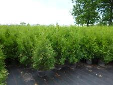 Thuja Brabant - kein Smaragd, 5l 100cm topfgewachsen, Bestseller