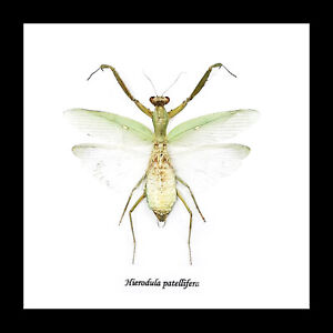 Mantid insect framed Australian owned warehouse BBHPA