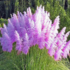 100 Purple Pampas Grass Seeds Ornamental Flowering Grasses Perennial Blooms