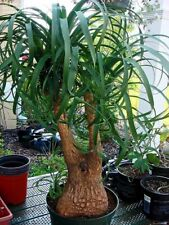 Seeds Rare Bottle Tree Elephants Foot Ponytail Palm Indoor Home Garden Ukraine