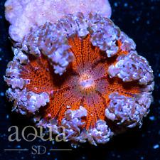 New listing Asd - 080 Underworld Rock Anemone - Wysiwyg - Aqua Sd Live Coral Frag