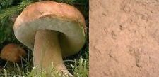 200g STEINPILZE Pulver 100% Steinpilzpulver 1A Würzpilz für Pilzsoße