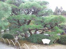 Japanese Black Pine Tree Seeds (Pinus thunbergii), 15 seeds