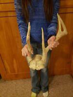 Wild Freak IA 8 Point Whitetail Deer Antler Rack Horn Skull Decor Cabin Man Cave