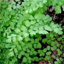 Maidenhair
