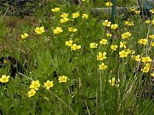 30 Swamp Buttercup Seeds - Ranunculus hispidus