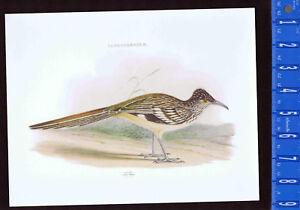 Saurotherinae - Geococcyx -Roadrunner  WOLF Color Bird Print