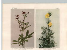 1934 Wildflower Book Plate Purple, Yellow, & Rough-Fruited Cinquefoil