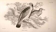 Bechstein's Caged Birds Engraving -1857- WOOD PIGEON